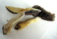 Stropharia hardii image