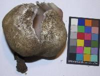Sarcosphaera coronaria image