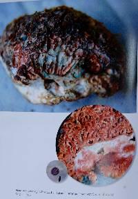 Lactarius rubriviridis image