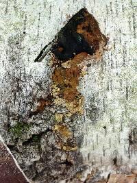 Phellinus lundellii image