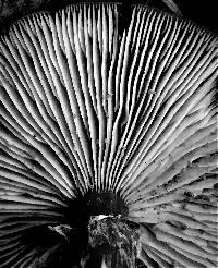 Armillaria nabsnona image