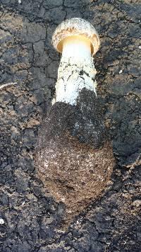 Battarrea phalloides image