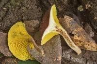 Phylloporus foliiporus image