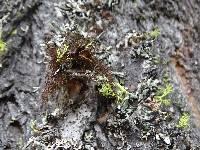 Nodobryoria abbreviata image