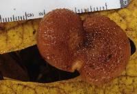 Armillaria sinapina image