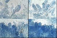 Entoloma bloxamii image