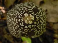 Coprinopsis picacea image