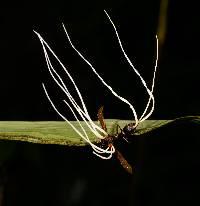 Hirsutella saussurei image
