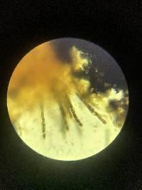 Annulohypoxylon annulatum image