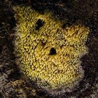 Mycoacia aurea image