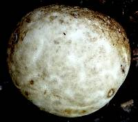 Protubera sabulonensis image