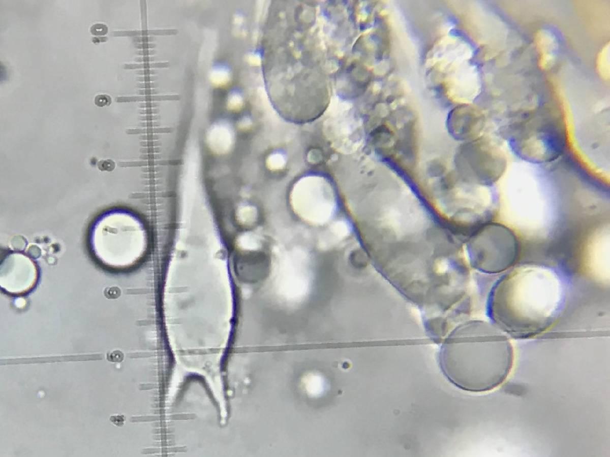 Amanita subvirginiana image