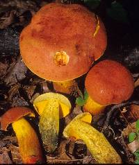 Boletus miniatopallescens image