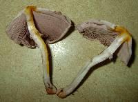 Agaricus pocillator image