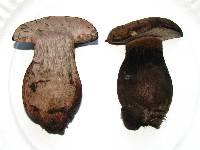 Tylopilus atronicotianus image