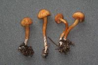 Rhodocybe nitellina image