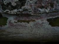 Phlebia mellea image