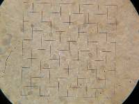 Agaricus hondensis image
