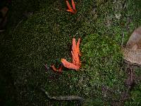 Clavulinopsis sulcata image