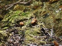 Gyromitra californica image