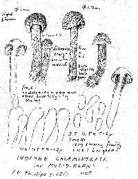 Inocybe hirsuta var. maxima image