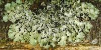 Cetrelia olivetorum image
