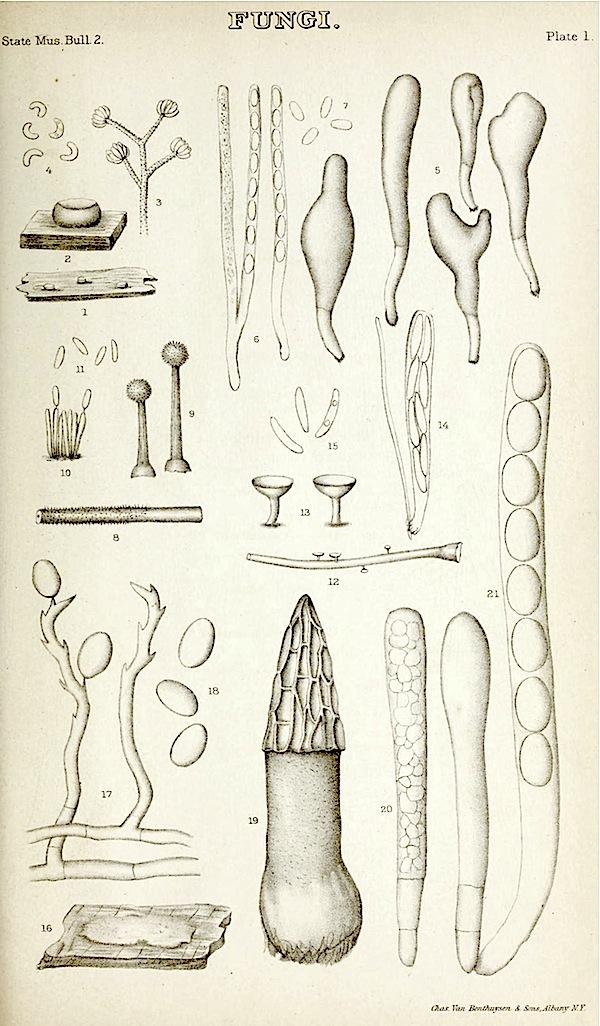 Morchella angusticeps image
