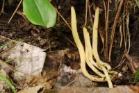 Clavaria amoenoides image