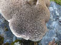 Sarcodon squamosus image
