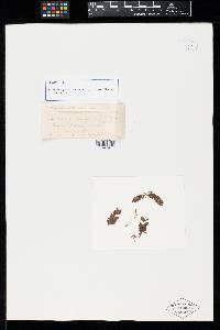 Image of Sphaerophragmium debile