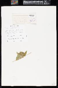 Image of Puccinia eleutherantherae