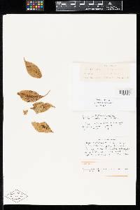 Image of Puccinia coreopsidis
