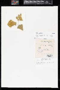 Uromyces papillatus image