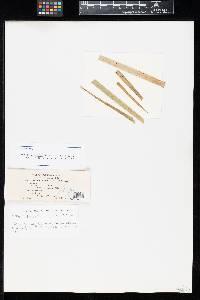 Uromyces perigynius var. altiporulus image