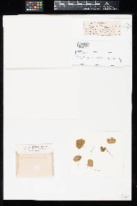 Uromyces polemanniae image
