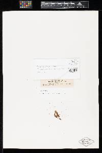 Image of Puccinia alsophila