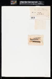 Phoma araliae image