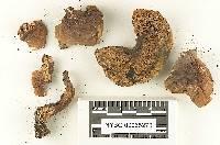 Ceriomyces zelleri image