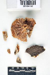 Lactarius tephropeplis image