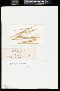 Uromyces amphidymus image