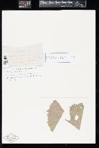 Aecidium adenostylis image