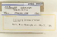 Clitocybe venosa image