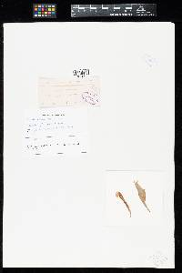 Image of Uredo assamensis