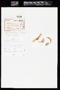 Image of Uredo cancerina