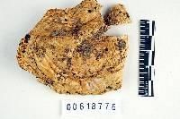 Russula alcalinicola image