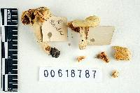 Russula blanda image