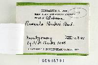 Russula burkei image