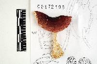 Russula turci image