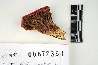 Russula californiensis image