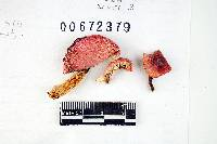 Russula corallina image